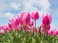 pink tulip bulb field