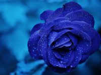 rose blue flower