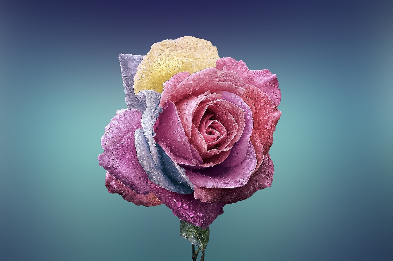 rose flower love romance beautiful