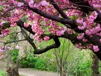 Sakura Wallpaper 1080x2280