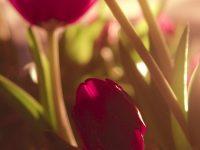 Tulip Wallpaper 1080x2280